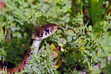 Grass snake by SnowPoring