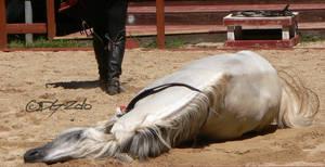 Andalusian Stallion - 36 by ElaineSeleneStock