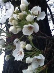 Spring Blossoms by Illuminati-4