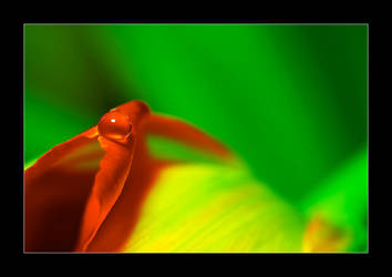 hot leaf (hot tulip) by selester