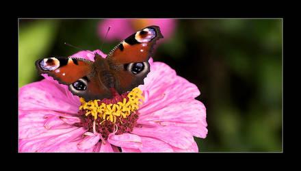 butterfly by selester