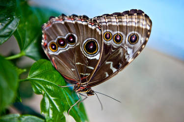 Brown Butterfly by SistersGrimms