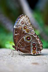 Brown Butterfly 2 by SistersGrimms