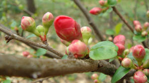 Winter red buds II by adderx99