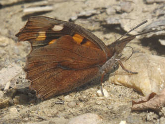 Nettle-tree butterfly (Libythea celtis) by mossagateturtle