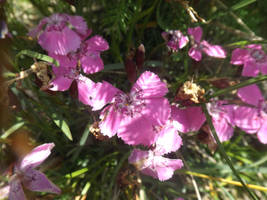 Dianthus alpinus by mossagateturtle