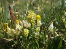 Tofeldia calyculata by mossagateturtle