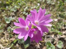 Primula clusii by mossagateturtle