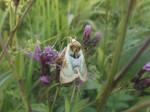 Diachrysia zosimi by mossagateturtle