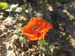 October poppy by mossagateturtle
