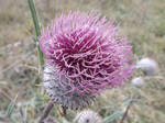 Woolly thistle by mossagateturtle
