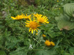 Senecio subalpinus by mossagateturtle