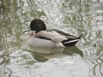 Hybrid duck by mossagateturtle