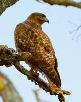 Red-shouldered hawk II by PaulWeber