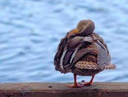 Sleepy Duck by PaulWeber