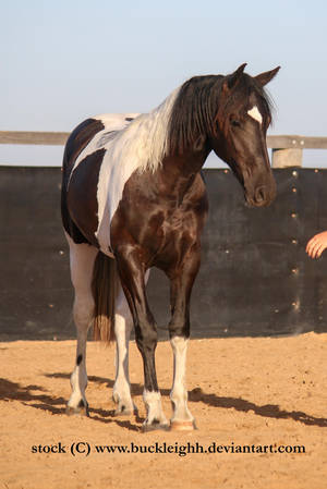 Tobiano horse standing stock by buckleighh