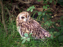 Owl by lordfreedom