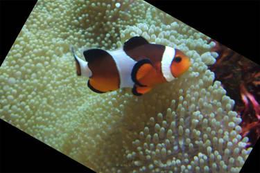 Clown Fish by kitsunefire