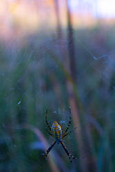 Garden Spider by grafffite