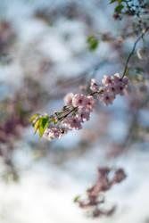 Cherry Blossom 2k18 by FuturamaJSP