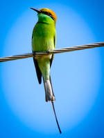 The Green Bee-eater by Fotograpfie