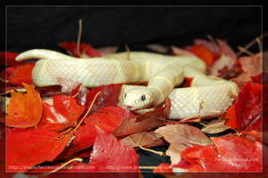 Fall Color Albino King by theperfectlestat