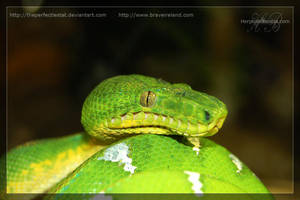 Emerald Tree Boa by theperfectlestat
