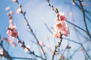 Cherry Blossoms by unikatdesign