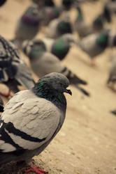 Pigeon by tahsincmn