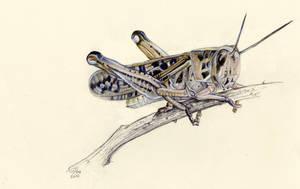 grasshopper study by Cephalopodwaltz