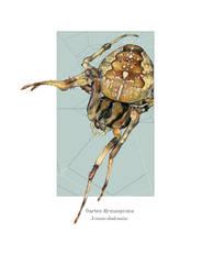araneus diadematus 2 by Cephalopodwaltz