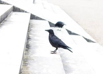 Corvus by Carmen-Alpa
