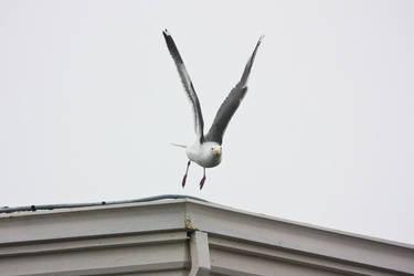 Gull Launch by cmdrkettch