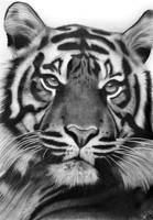 Just another tiger by kayleighmc