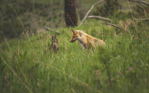 Yellowstone Fox by CaseyNealArtwork