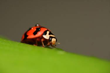 Ladybug by emanesque