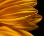 Sunflower... once again... by AgataSwat