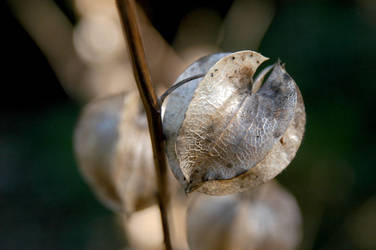 Seed pod by gillc