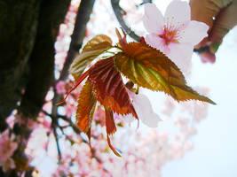 Sakura tree. by skykeys