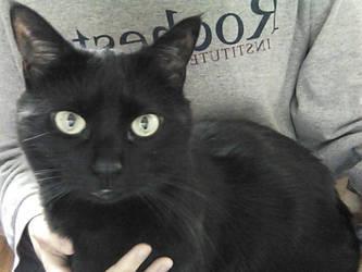 Krysta cat ID by doux-merise