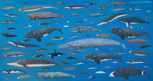 Cetacea by SameerPrehistorica