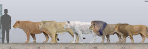 Lions size comparison by SameerPrehistorica