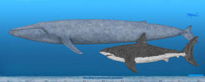 Blue Whale and Megalodon size comparison by SameerPrehistorica