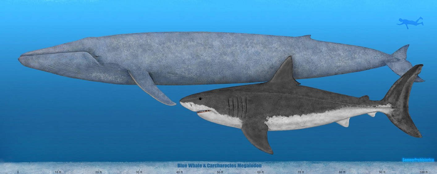 Blue Whale and Megalod...
