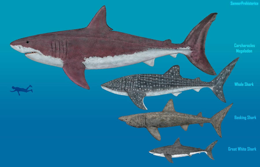 [Image: sharks_size_comparison_by_sameerprehisto...llview.jpg]