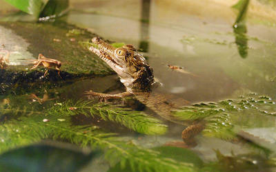 Baby crocodile by theoneandonlyClown