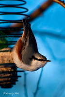 Nuthatch3 by PictureByPali