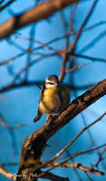 Blue Tit5 by PictureByPali