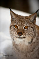Determine Gaze by a Lynx by PictureByPali