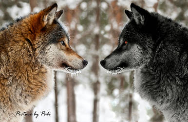 Yin and Yang Wolves by PictureByPali